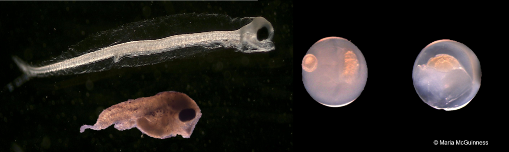 The image has a black background and shows on the left hand side two fish larvae and the right hand side two fish eggs, which appear to have a yolk in the centre and a milky surrounding.