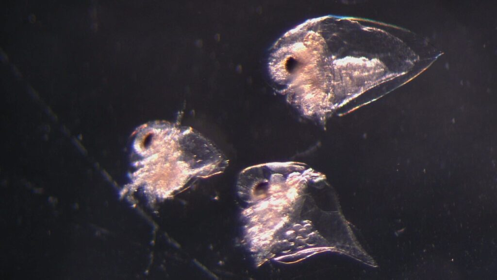 Image shows three cladocera from the genus Evadne. One female with nearly 10 eggs is visible. Cladocera are nearly transparent, with a large dark eye on their head.