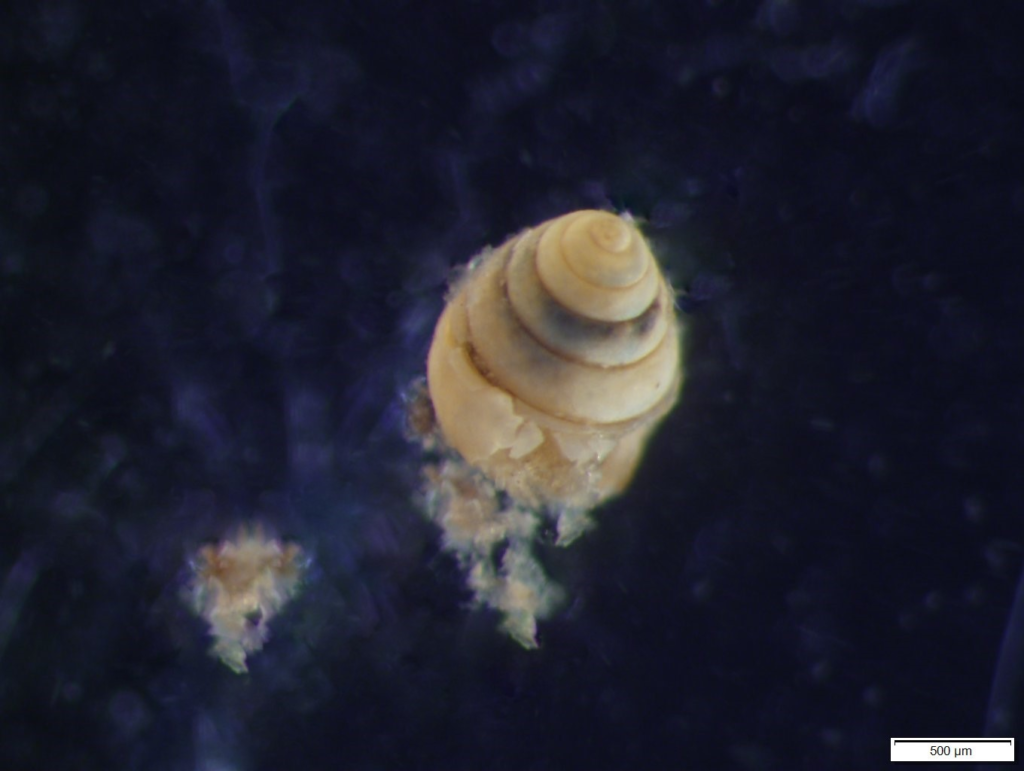 Image shows a gastropod shell, a type of mollusc, against a black background