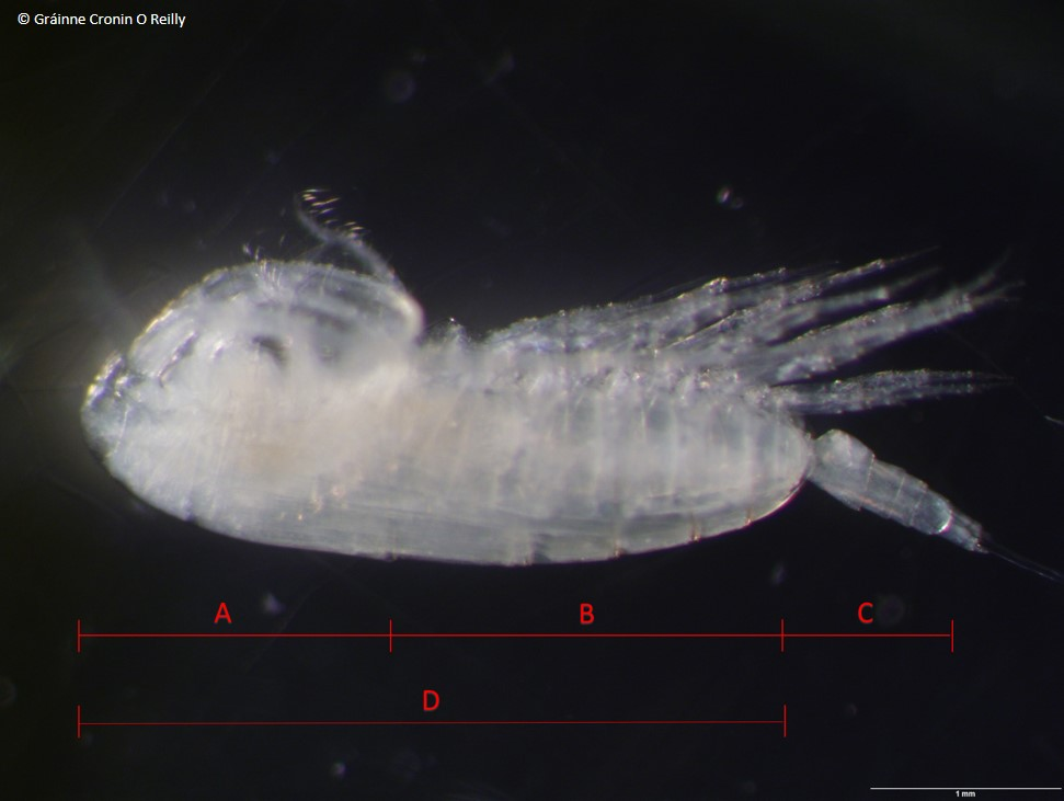 Image shows a female calanoid copepod in close up. The body has been divided into sections A (head regoin) B (body region) C (tail region) and D (prosome which is the head and body region together)