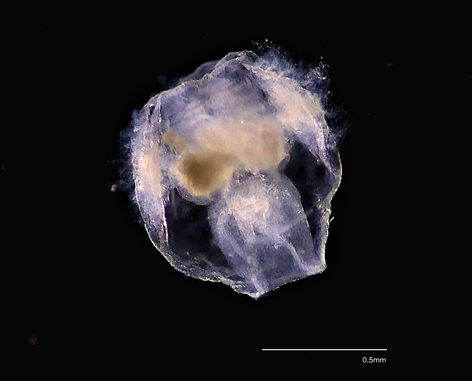 A larval ctenophore, likely a larvae of Pleurobrachia pileus, is shown in the image against a black background. The characteristic combs are not as obvious as in the adult, but are starting to form. The larva has more colour than the transparent adult comb jelly
