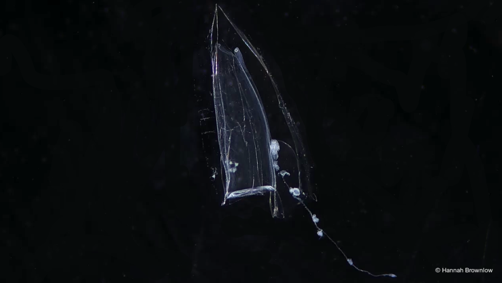 Image shows the calycophoran siphonophore Muggiaea atlantica during the polygastric stage