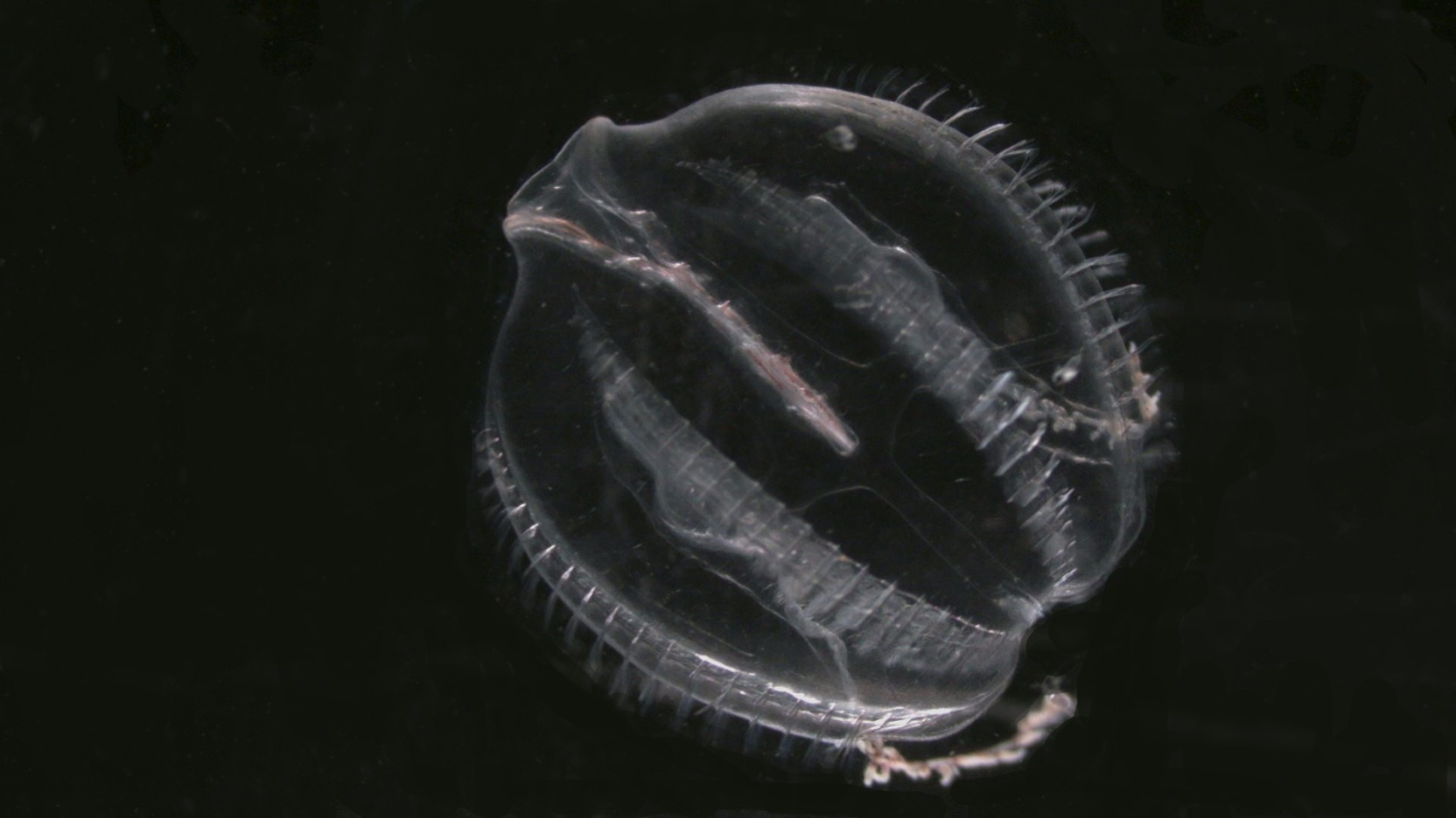 An adult ctenophore, Pleurobrachia pileus, against a black background. The characteristic combs or ctenes are visible in the image