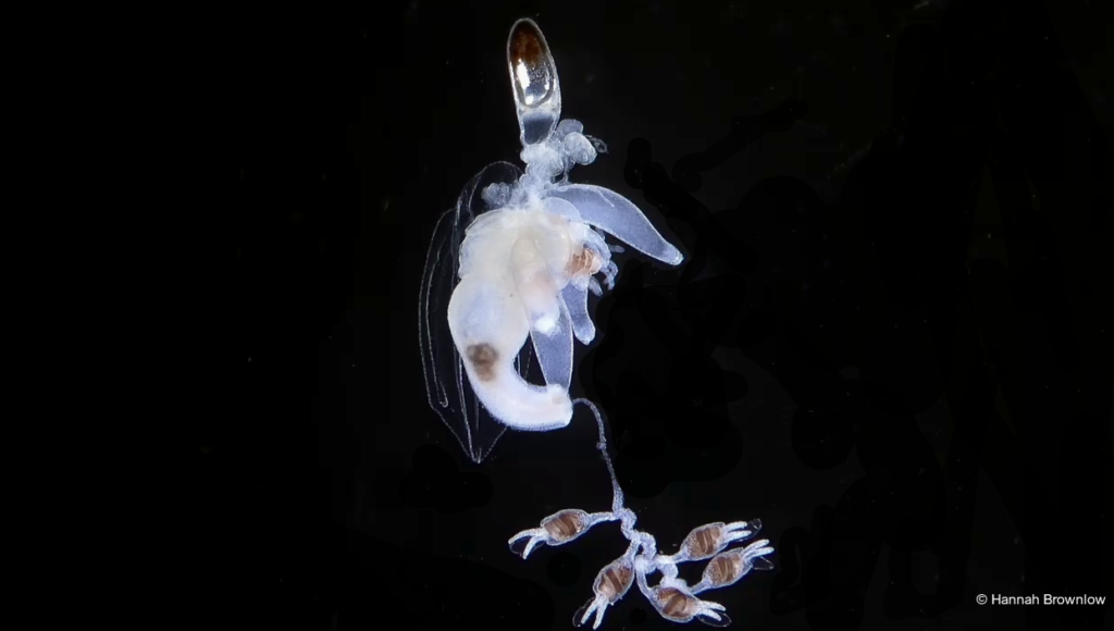 Image shows a siphonophore colony from the genus Nanomia. The pneumatophore can be seen with a red tinge. Nectophores and several bracts can also be seen on the colony.