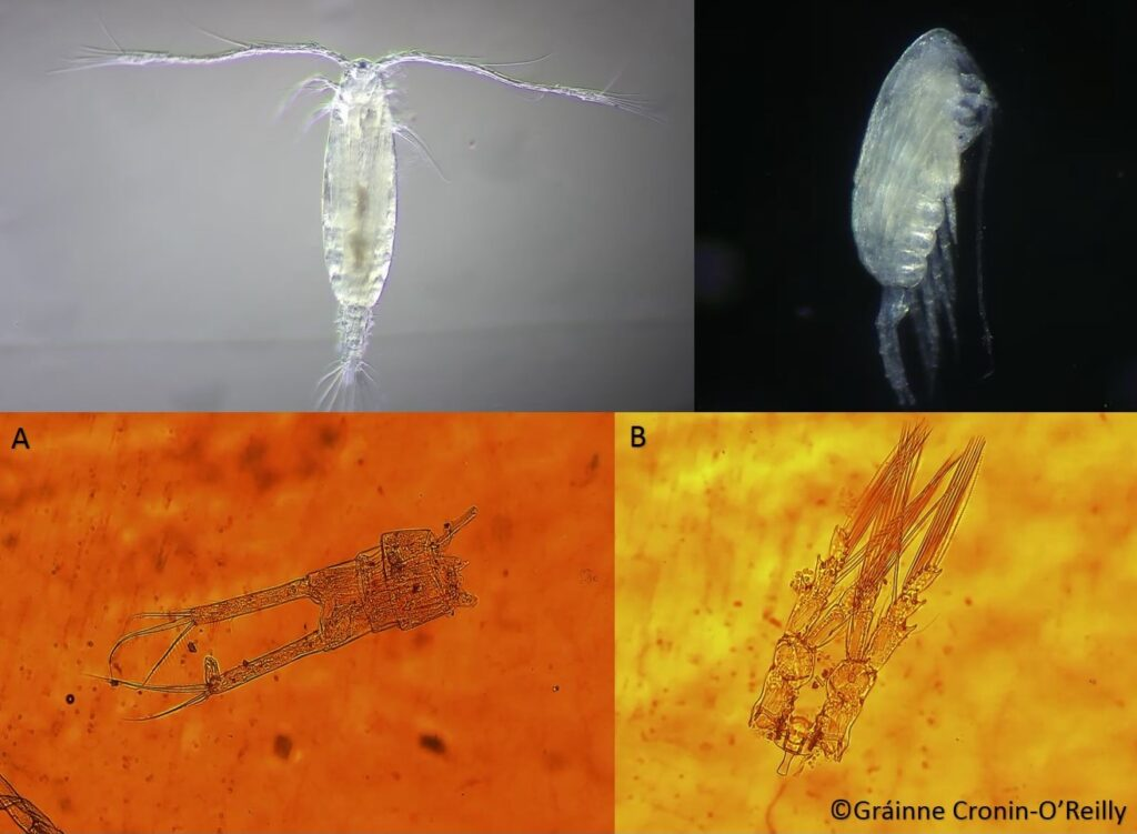 The image shows four separate pictures of copepods. The top two images show a calanoid copepod from two different angles. The two images on the bottom show the tail region of a female copepod and the third pair of swimming legs of a copepod.